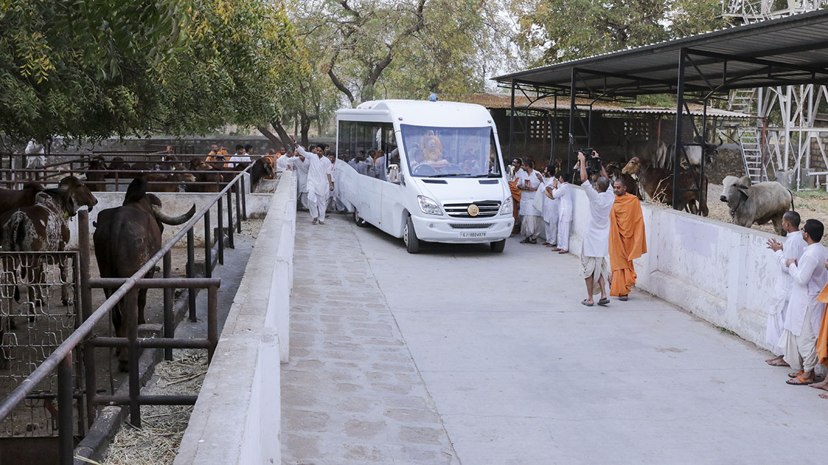 Swamishri visits the Gaushala within the mandir campus