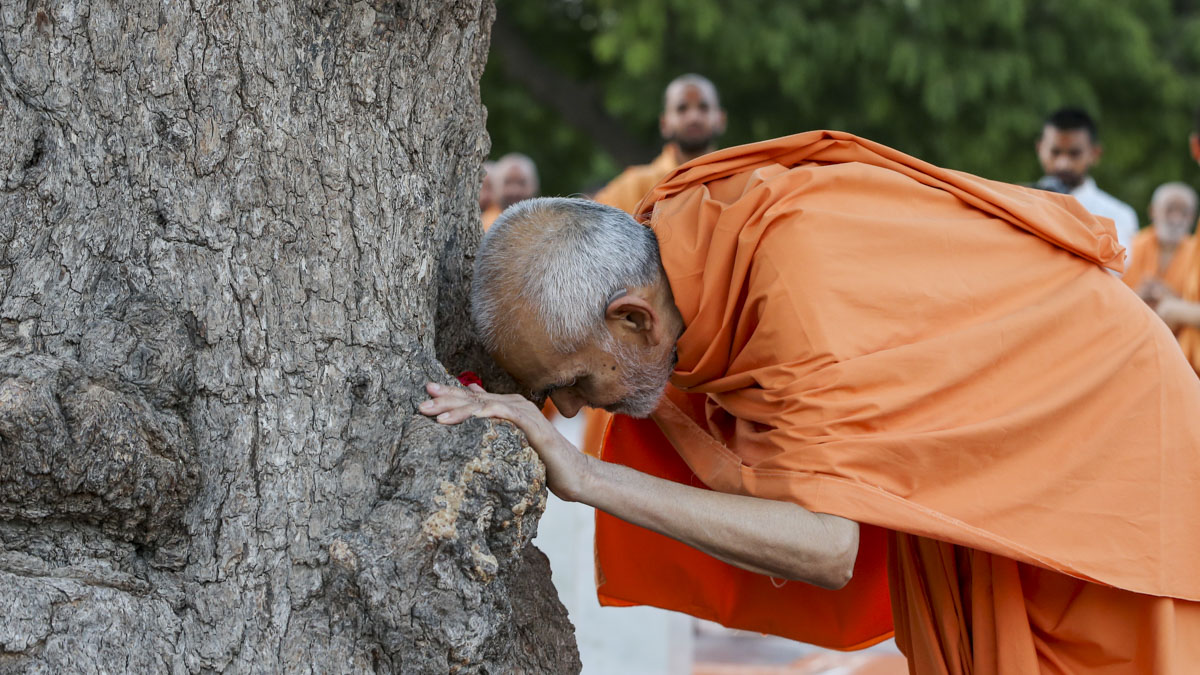 Swamishri doing darshan at the sacred khijdo tree, 1 Jun 2017