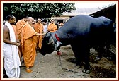 Swamishri garlands and blesses the bull, Nagnath, - who won the title of Best Animal of Show, Blessing the National Champions of the Mandir Gaushala