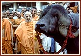 Swamishri is blessing the bull, Gajanath, who stood first among the Jaffrabadi breed, Blessing the National Champions of the Mandir Gaushala
