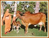 Gomti and her calf, descendant of a cow in the time of