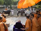 Swamishri blesses cattle from the Sarangpur Gaushala