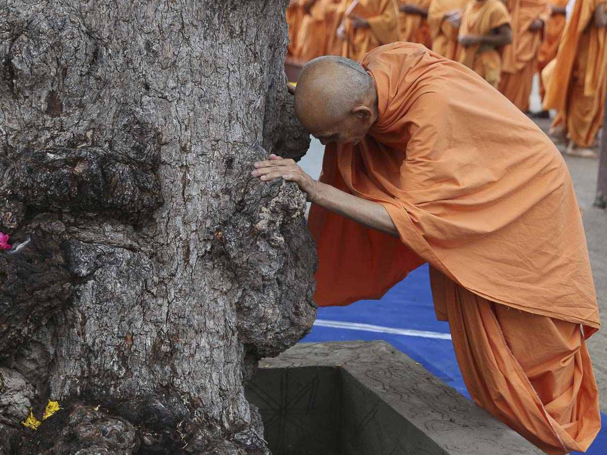 Param Pujya Mahant Swami bows at the sacred khijdo tree, 18 Sep 2016