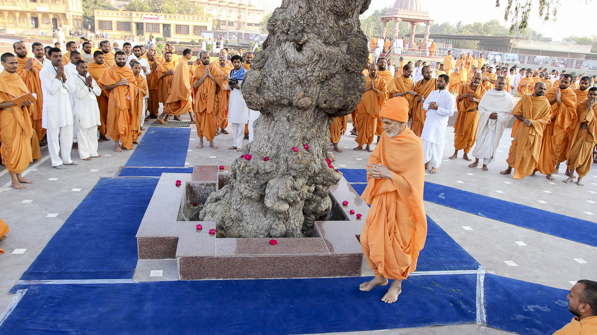 Param Pujya Mahant Swami Maharaj performs pradakshina of the sacred khijdo tree, 3 Feb 2017
