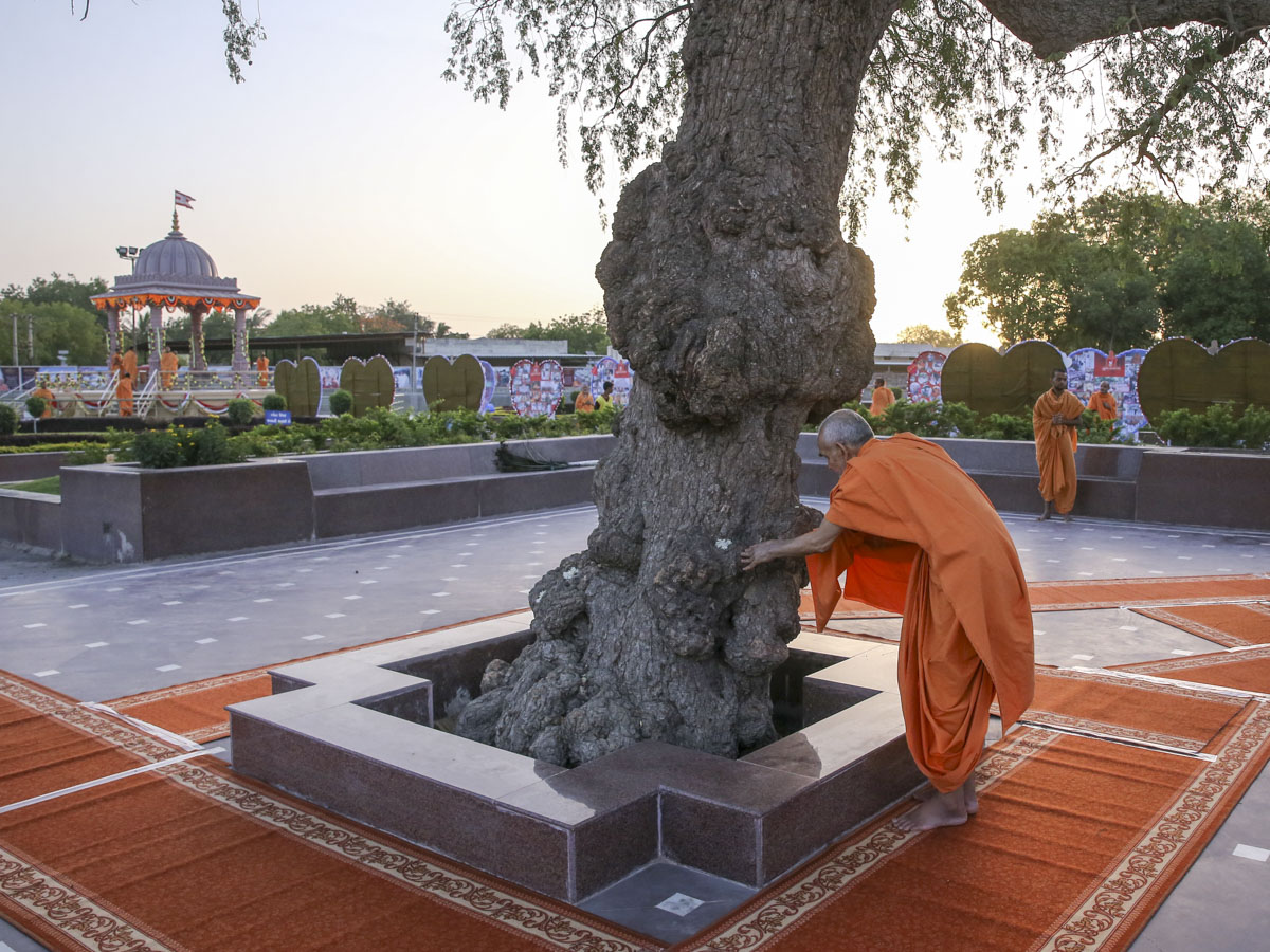 Swamishri reverentially touches the sacred khijdo tree, 27 May 2017
