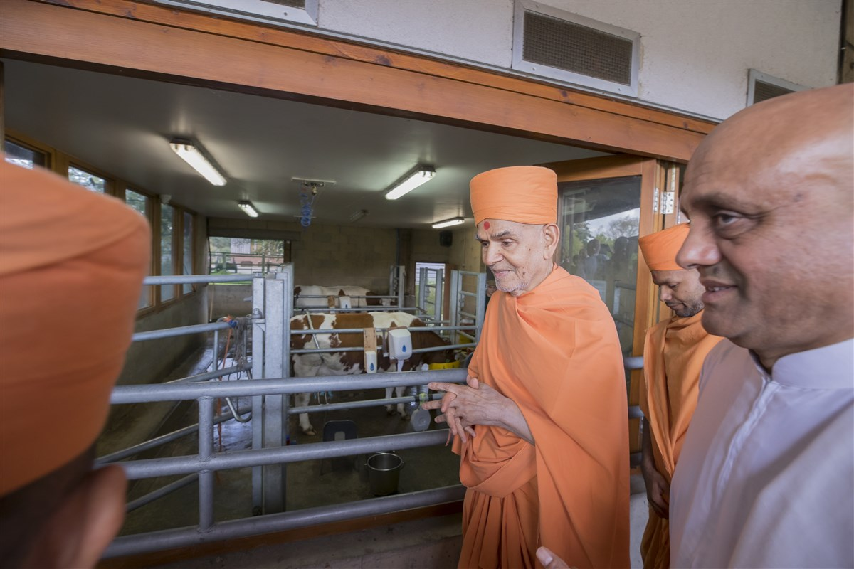 Swamishri visits the gaushala
