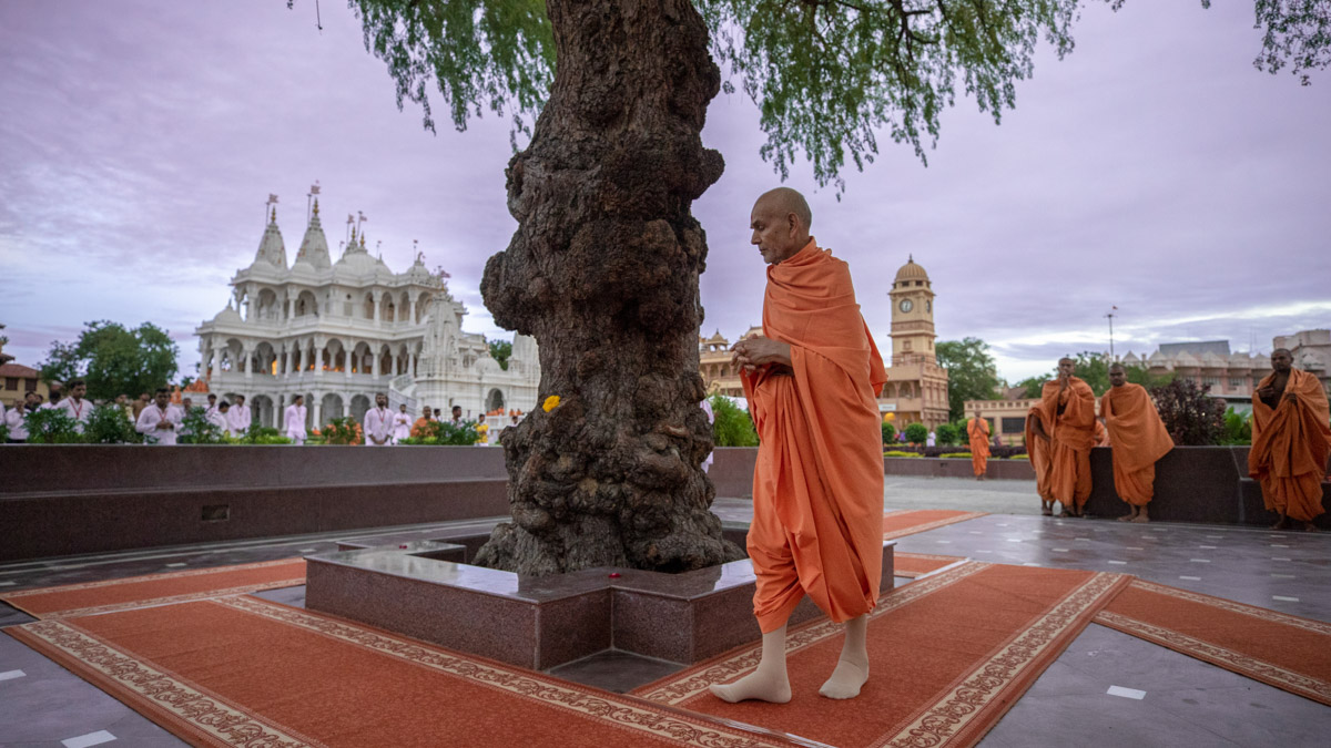 Swamishri performs pradakshina of the sacred khijdo tree