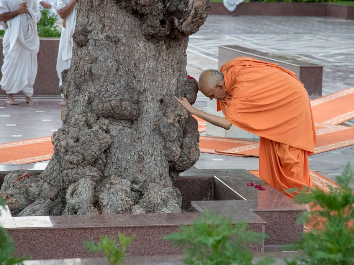 Swamishri engrossed in darshan at the sacred khijdo tree