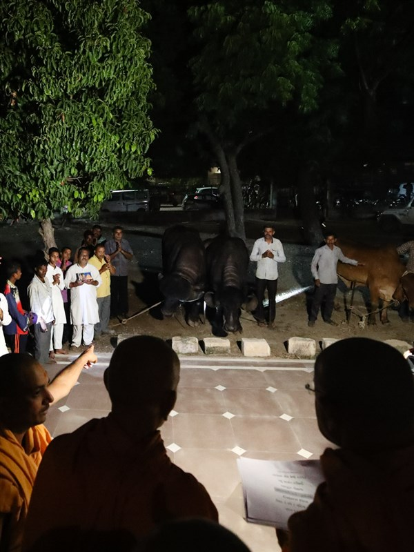 Swamishri blesses cows and buffaloes of the BAPS gaushala in Sarangpur