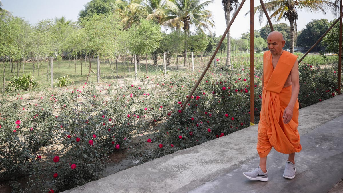 Swamishri during his evening walk