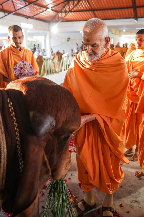 Swamishri feeds a cow