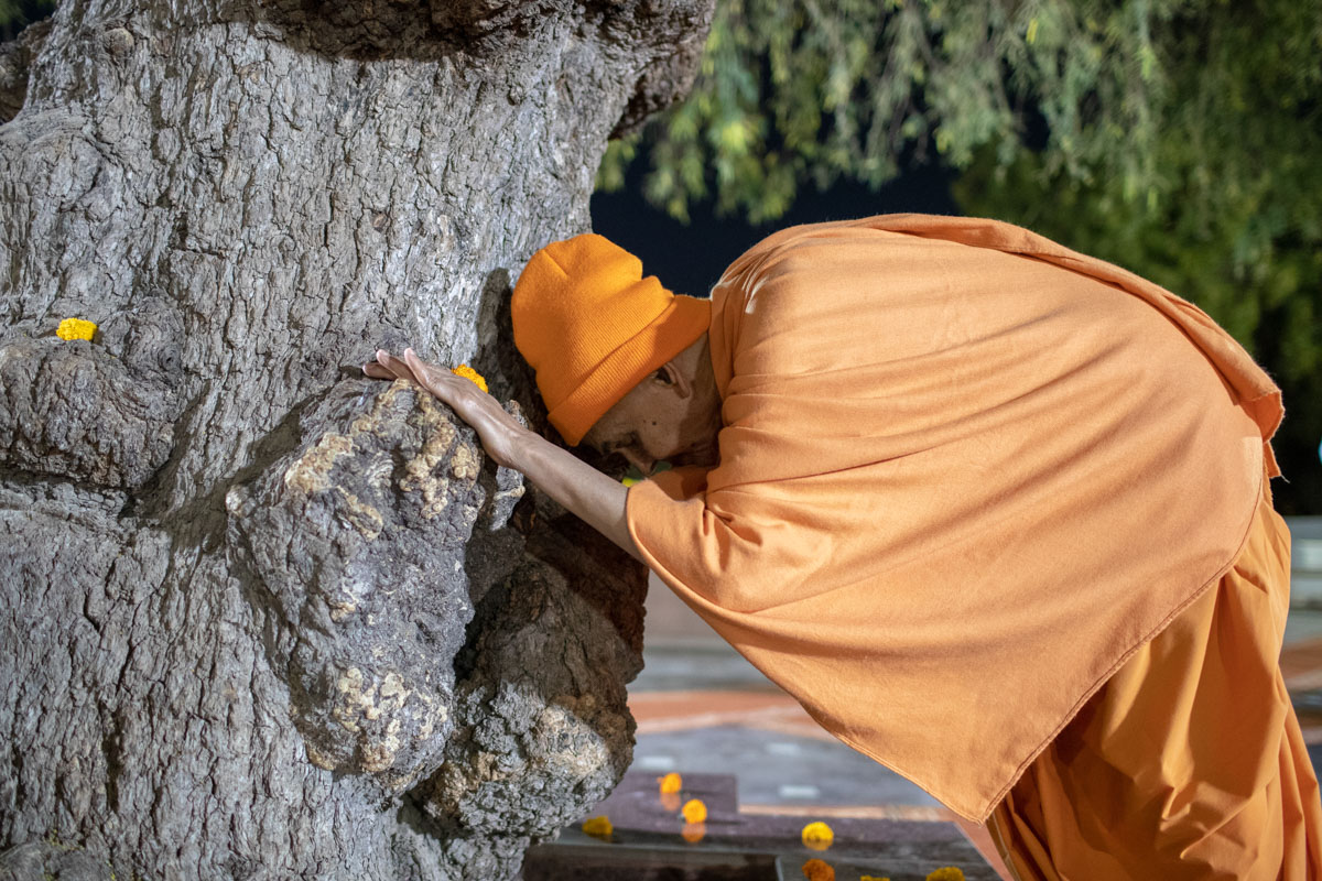 Swamishri engrossed in the darshan of the sacred khijdo tree