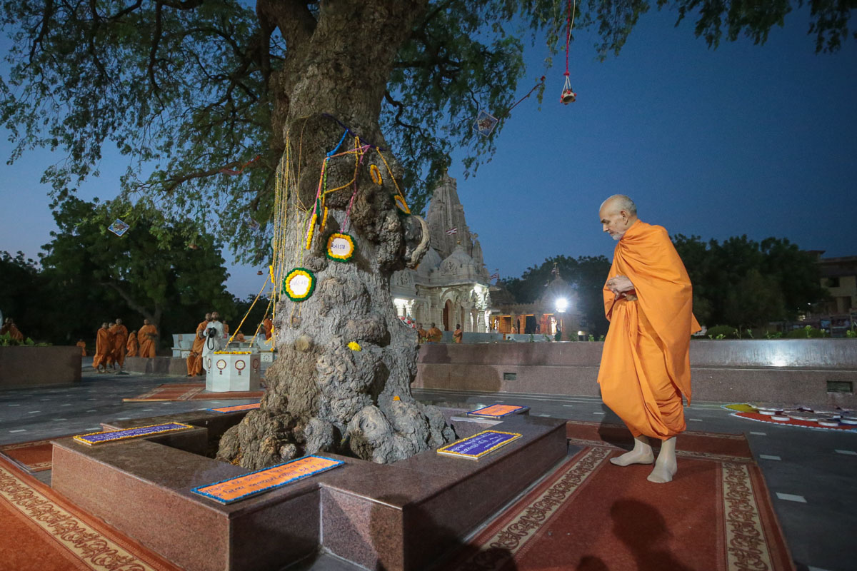 Swamishri reads quotations displayed around the sacred khijdo tree