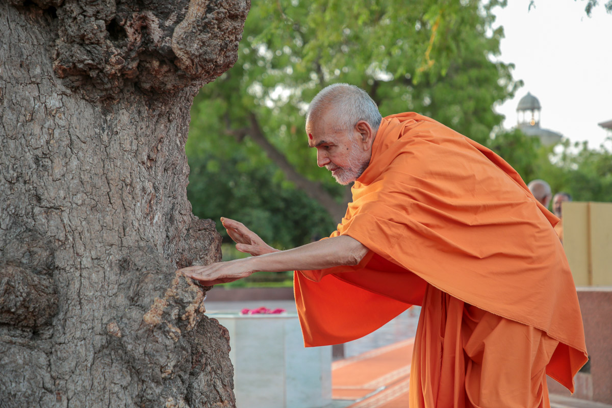 Swamishri engrossed in darshan of the sacred khijdo tree