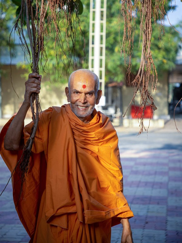 Swamishri holding the branches of a banyan tree in the Shantivan grounds