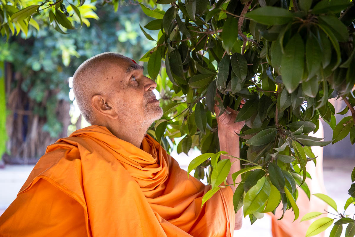 Swamishri closely observes a tree