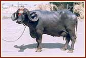 """All India Livestock Show and Competition"",Jaipur, Rajasthan"