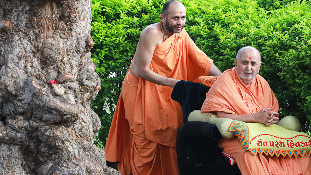 Swamishri performs pradakshina of holy 'Shami' tree in the Yagnapurush Smruti Mandir grounds