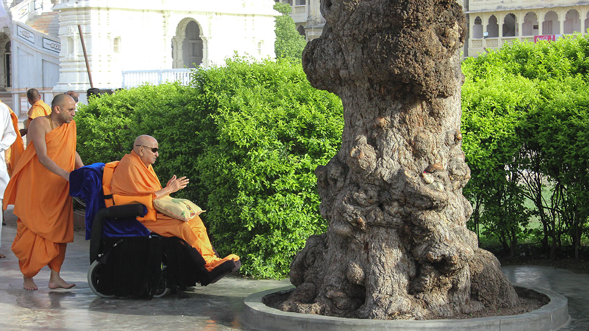 Swamishri performs pradakshina of holy 'Shami' tree in the Smruti Mandir grounds