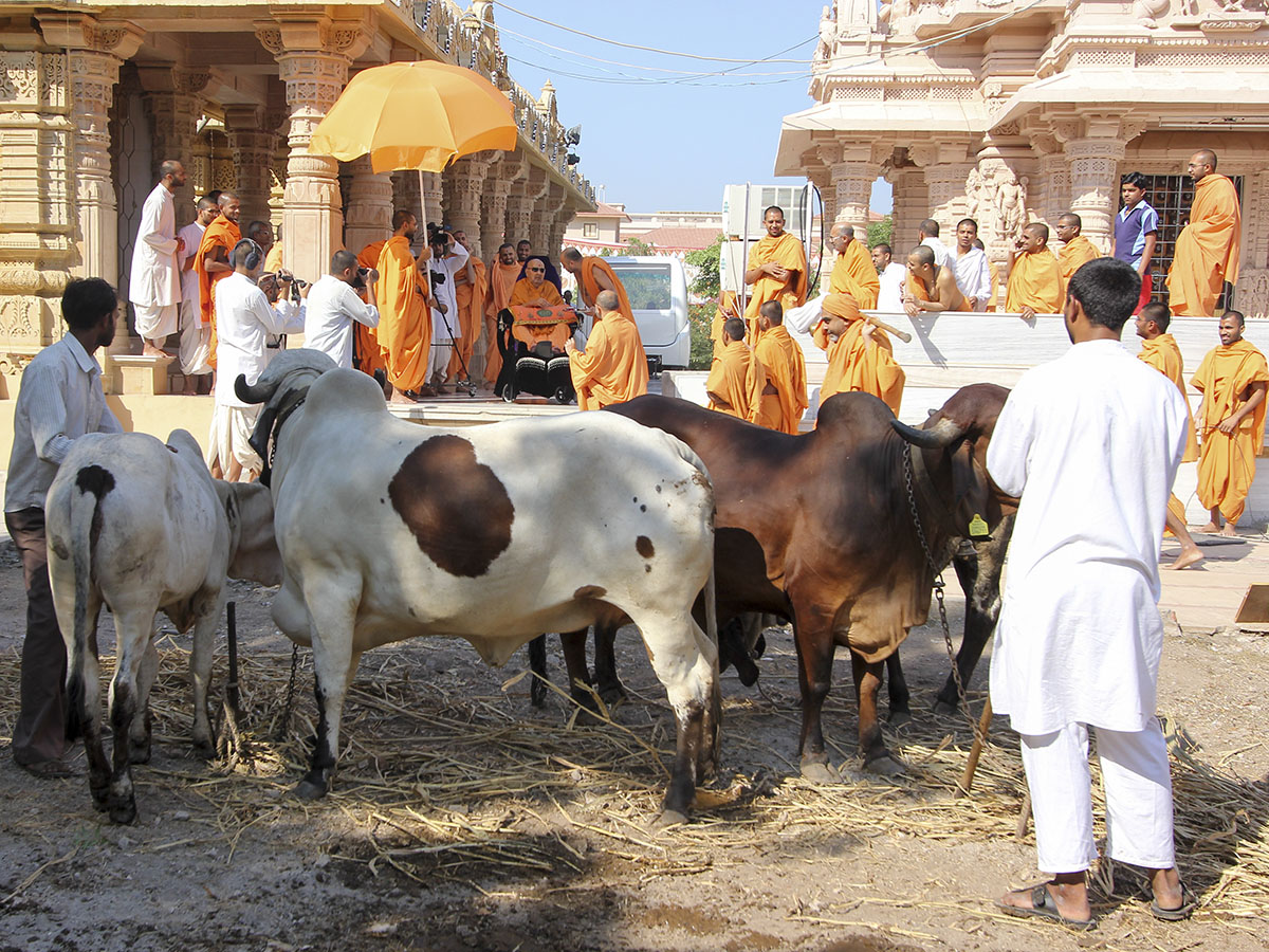 Swamishri blesses the cattle